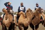 Верблюжьи бега_13