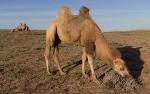 Верблюды_5