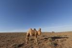 Верблюды_6