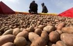 Посадка картофеля_12