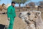 Верблюжья ферма_14