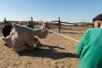 Верблюжья ферма_18