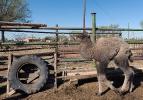 Верблюжья ферма_19