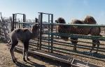 Верблюжья ферма_20