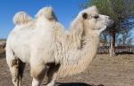 Верблюжья ферма_23