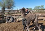 Верблюжья ферма_25