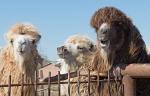 Верблюжья ферма_27