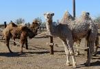 Верблюжья ферма_28