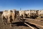 Верблюжья ферма_29