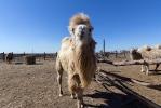Верблюжья ферма_30