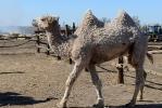 Верблюжья ферма_31
