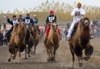 Верблюжьи бега_4